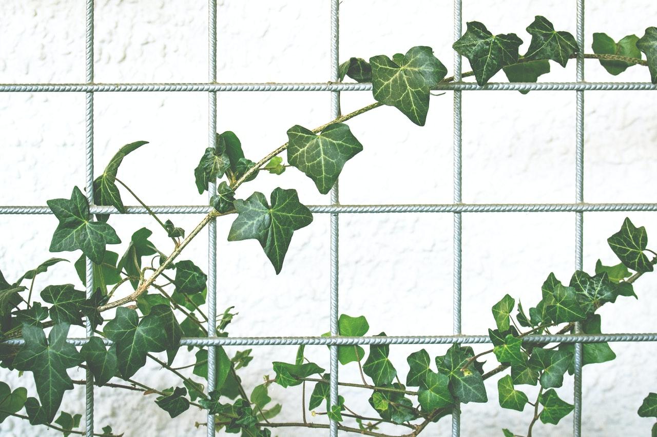 Bluszcz irlandzki - hedera hibernica